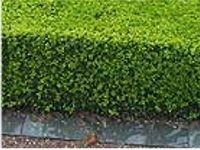 pot grown dwarf box hedging buxus sempervirens. Black Bedroom Furniture Sets. Home Design Ideas