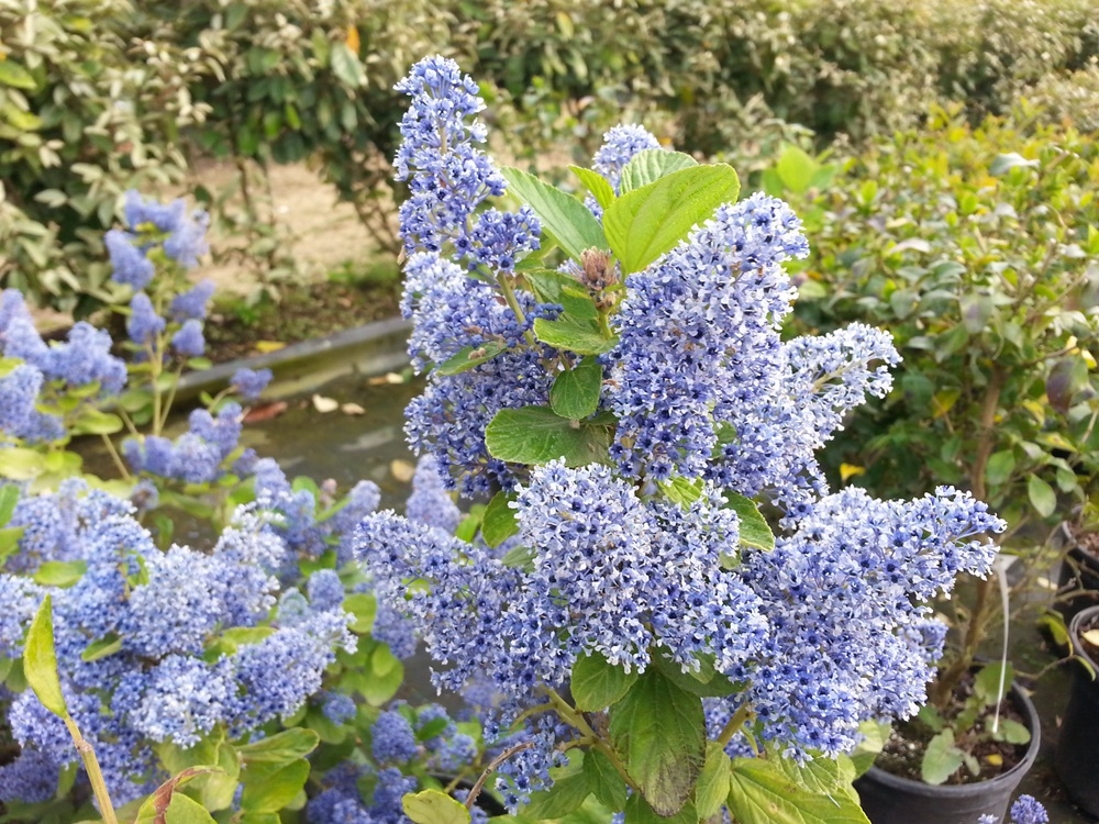 ceanothus arboreus trewithen blue. Black Bedroom Furniture Sets. Home Design Ideas