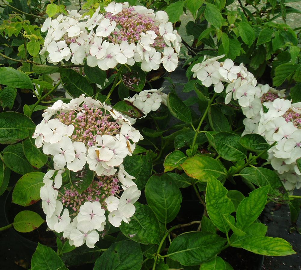 hydrangea macrophylla lanarth white botanicaplantnursery. Black Bedroom Furniture Sets. Home Design Ideas