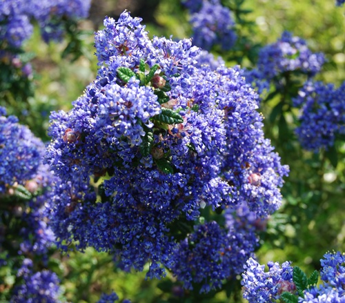 ceanothus puget blue. Black Bedroom Furniture Sets. Home Design Ideas