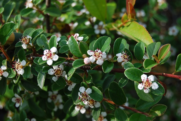cotoneaster dammeri major var radicans. Black Bedroom Furniture Sets. Home Design Ideas