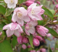 Deutzia hybrida Magicien (Strawberry Fields)