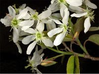 Pot Grown Snowy mespilus - Amelanchier Canadensis