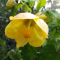 Abutilon John Thompson