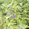 Caryopteris clandonensis First Choice