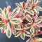 Euphorbia amygdaloides Frosted Flame