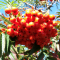Sorbus Dodong Olympic Flame