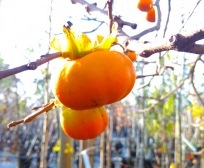 Chinese Persimmon Tree