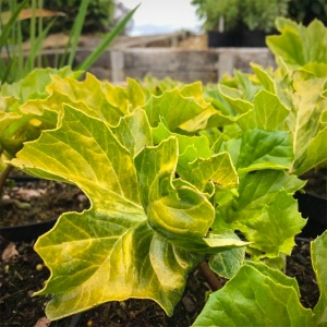 Acanthus mollis Hollards Gold