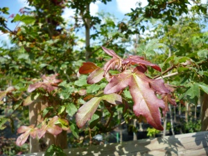 Acer campestre Royal Ruby