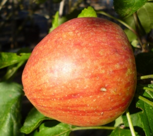 Adams Pearmain Apple