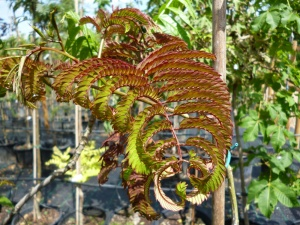 Albizia julibrissin Summer Chocholate