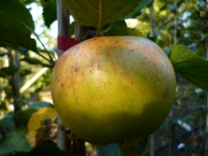 Beauty of Kent Apple