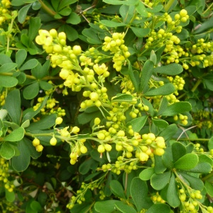 Berberis carminea Pirate King