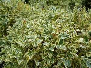 Buxus sempervirens Silver Beauty