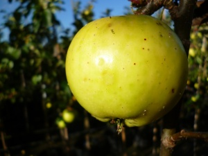 Carlisle Codlin Apple