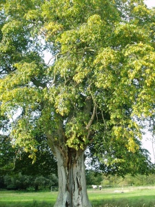 Carpinus betulus Chantry Farm Selection