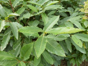 Chestnut Sweet Tree - Castanea sativa