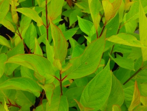 Cornus alba Red Selection