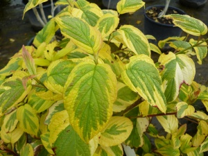 Cornus stolonifera Hedgerow Gold