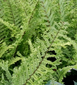 Dryopteris affinis Cristata (The King)