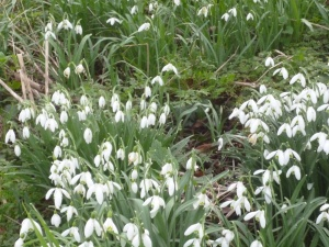 Native Snowdrop - Galanthus nivalis (Single)
