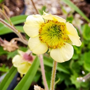 Geum Moonlight Serenade