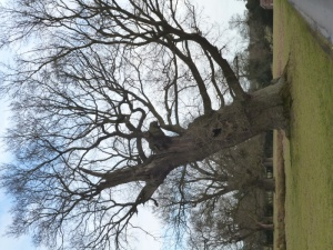 Quercus robur Helmingham Hall Selection