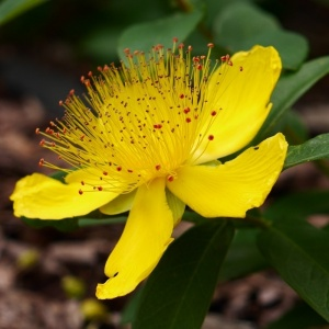 Perforate St Johns Wort (Hypericum perforatum)