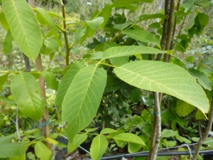 Walnut Tree - Juglans regia
