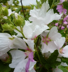 Lavatera Blushing Bride