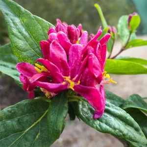 Lonicera tatarica Hacks Red