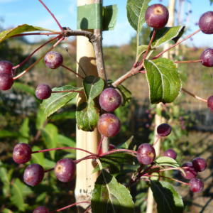 Malus brevipes Wedding Bouquet