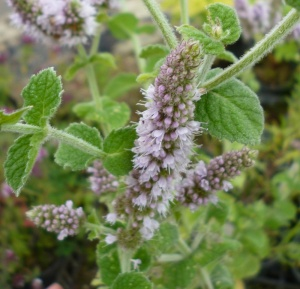 Mint Apple (Mentha suaveolens)
