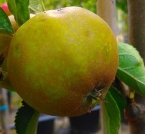 Nutmeg Pippin Apple