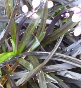 Ophiopogon planiscapus Nigrescens (Black Dragon)