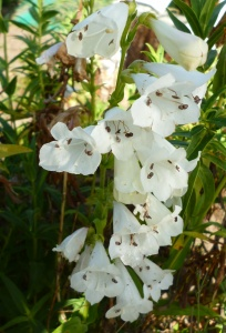Penstemon parvulus pensham Wedding Day