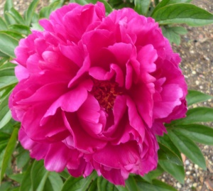 Paeonia lactiflora President Franklin D Roosevelt