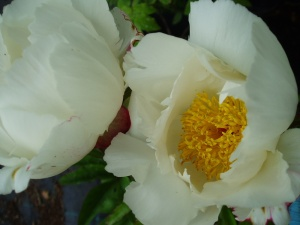 Paeonia lactiflora White Wings