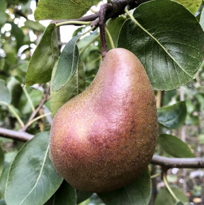 Pear Black Worcester