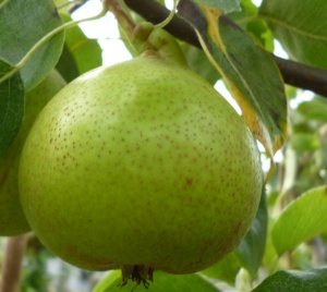 Pear Hellens Early (Perry)
