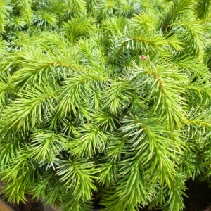 Picea sitchensis Papoose