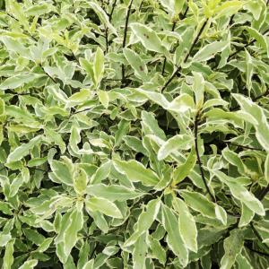 Pittosporum eugenioides Variegata