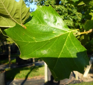 Platanus acerifolia Blood Good