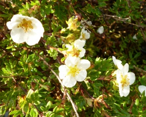 Potentilla fruticosa Mount Everest