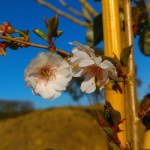 Prunus Hally Jolivette