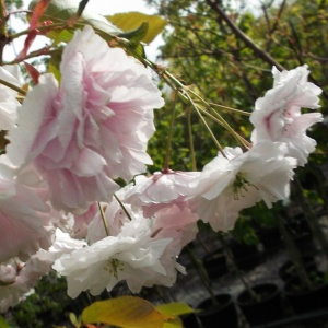 Prunus Shirofugen