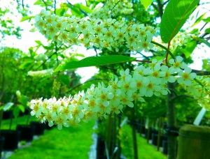 Prunus padus Waterii