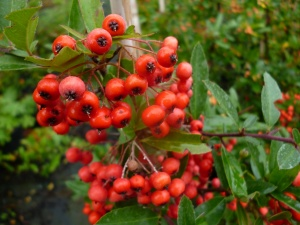 Pyracantha Darts Red