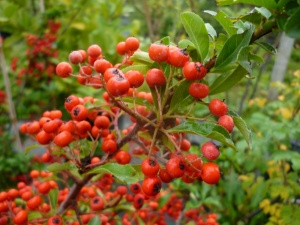 Pyracantha coccinea Red Column